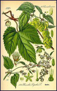 Humulus Lupulus - Hopfen / Bild: https://de.wikipedia.org/wiki/Echter_Hopfen#/media/File: Illustration_Humulus_lupulus0.jpg
