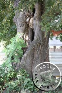Alter Baum auf dem ehemaligen Friedhofsareal - Bild EA