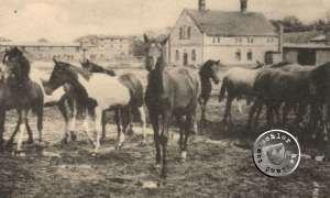 Pferde auf dem ehemaligen Gut zu Sliwno / Postkartenausschnitt